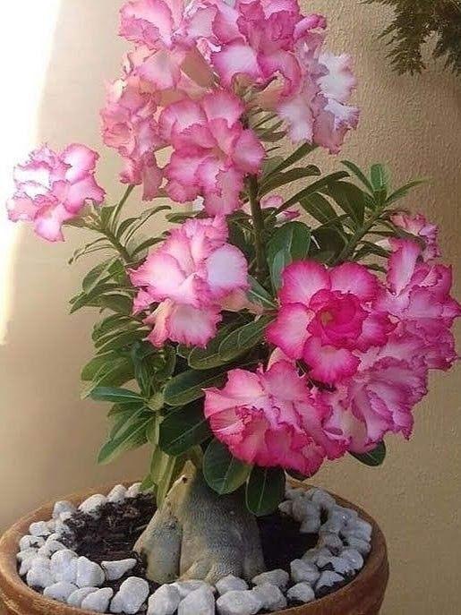 Epingle Par Kima Sur Jardinage Avec Images Rose Du Desert