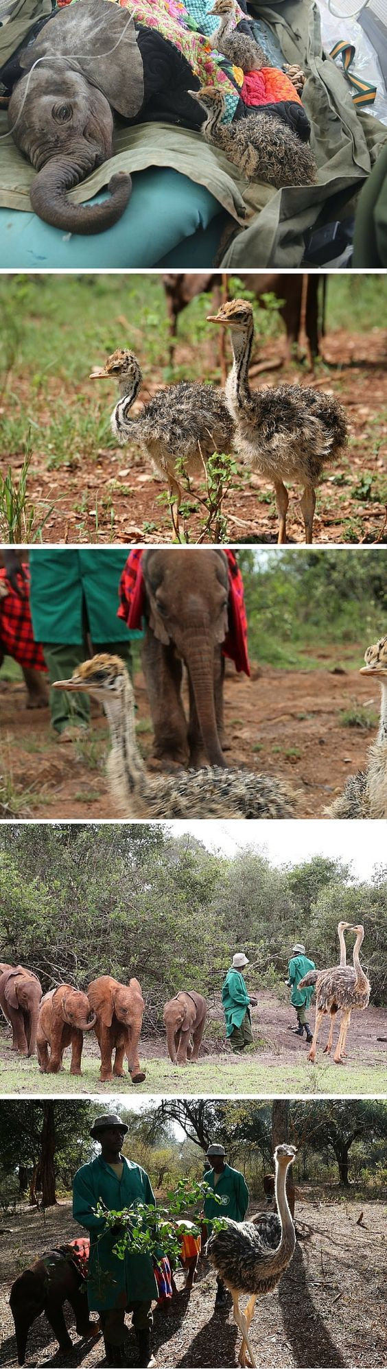 "Two orphaned ostriches, Pea and Pod, were rescued by the David Sheldrick Wildlife Fund, a sanctuary that helps to raise and nurture orphaned baby elephants. The two birds have become an integral part of the nursery family there. These two entertain thee baby elephants who love to charge them, hug them, and ""positively maul them with affection."""