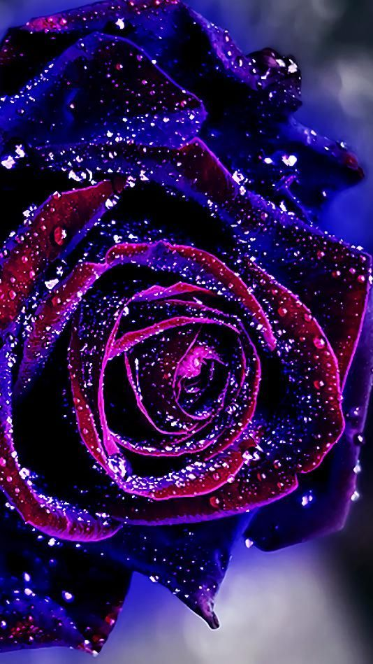 Natural Flower Blue Roses Wallpaper Red Flower Wallpaper Rose Wallpaper