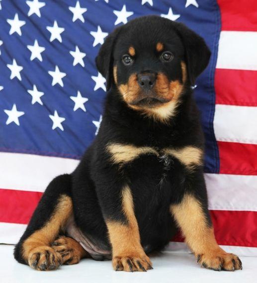River Rottweiler Puppy Puppyspot Rottweiler Puppies For Sale Rottweiler Puppies Funny Dog Photos