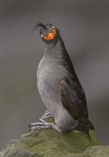 Crested Auklet- Crested Auklet: Small, oddly attired seabird of Arctic waters with dark gray body. Head has a strange, smiling orange bill, quail-like crest, bright yellow-white eyes: