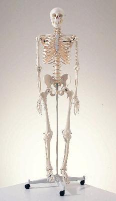 3B Skeleton - standard w/ pelvic mounted roller stand | Ward's Science