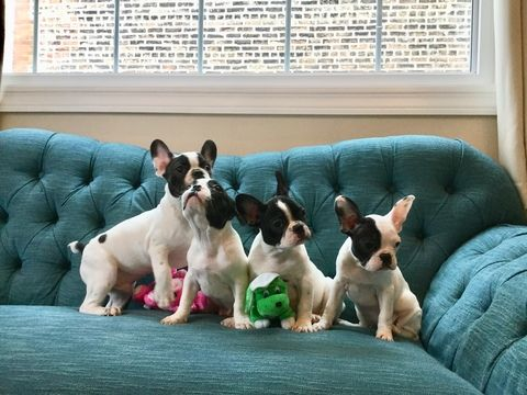 Litter Of 4 French Bulldog Puppies For Sale In Chicago Il Adn