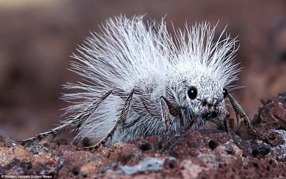 """This """"Cow Killer Ant"""" can floor its victims with just one vicious sting. Despite its name the inch-long beast, known formally as the Thistledown Velvet Ant, is actually a wingless female wasp."""