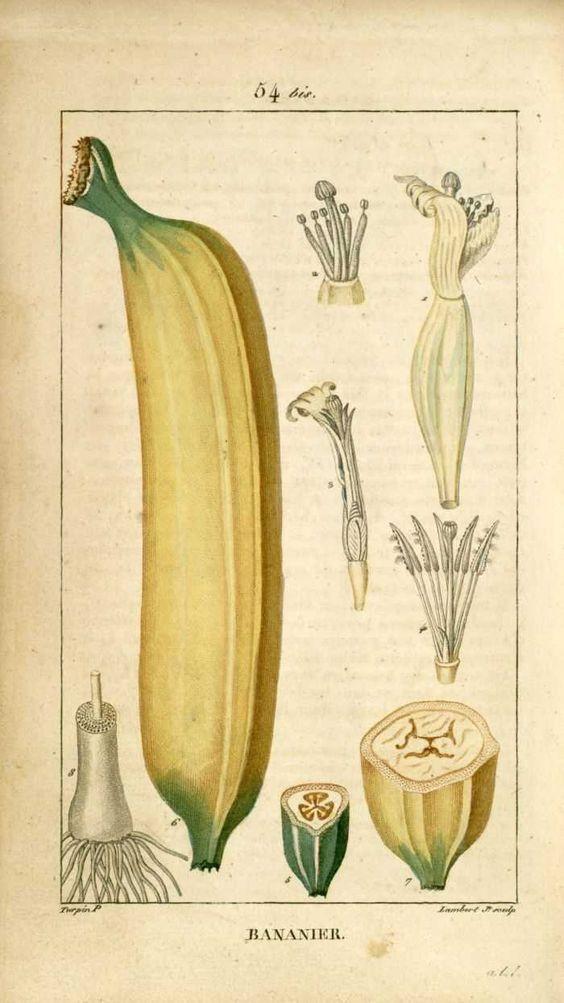 img/dessins-gravures de plantes medicinales/bananier - fruit banane.jpg