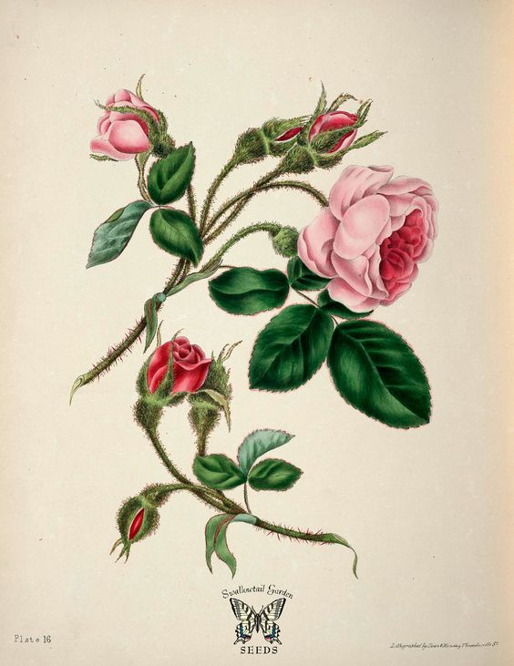 Moss Rose | Gleadall, E.E., The beauties of flora, t.16 (1839)