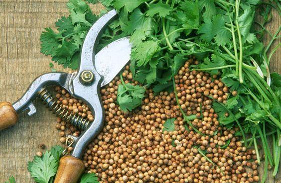 Premier potager : la coriandre. Ce qu'il faut savoir de la coriandre pour la semer au potager.