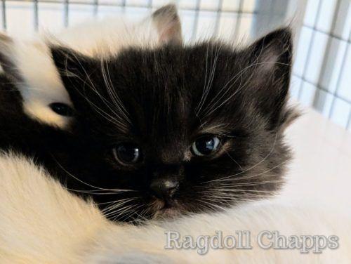 Black Ragdolls Cat Ragdolls Cat As Breeders Can Ragdolls Be Black Ragdoll Cat Colors Ragdoll Cat Cats