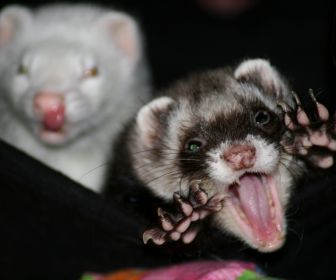 monster ferret by larissaallen high resolution HD Wallpaper - rawr I'm scary!