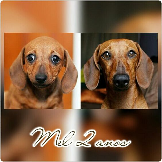 Mel 2 anos  #Dashhound #Dog #Evolução #Crescimento