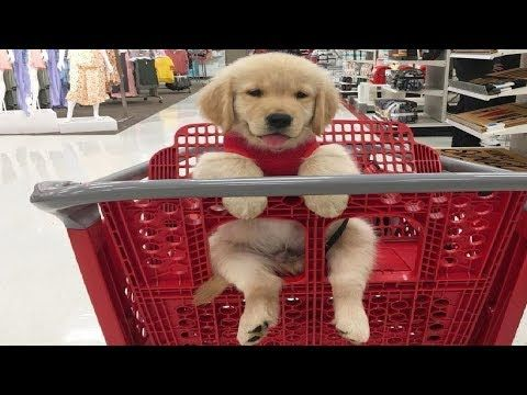 Funniest Cutest Golden Retriever Puppies 10 Funny Puppy
