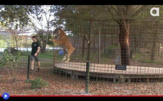 """Che cosa vedono i felini nella schiena dei visitatori allo zoo? Paura, pericolo, immagini SHOCKANTI... Il bambino con l'impermeabile giallo dello zoo di Chiba, in Giappone, che poteva LETTERALMENTE """"morire""""! La belva leonina ha fatto tutto il POSSIBILE per tentar #animali #felini #tigri #leoni #zoo"""
