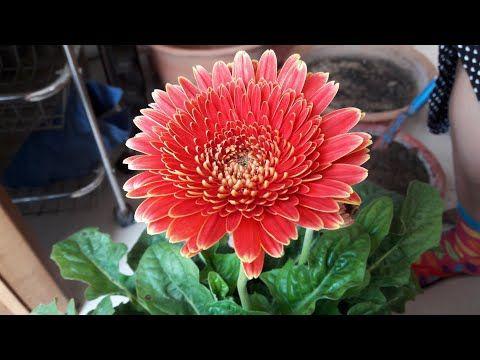 Pin By Arshad Khan On Garden In 2020 Gerbera Plant Gerbera Plants