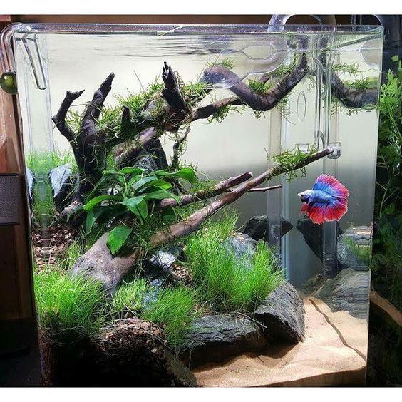 Aquascape With Driftwood And Rocks Betta Aquarium Betta Fish Care Aquarium