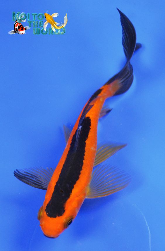 Orange and black on pinterest for Orange koi carp