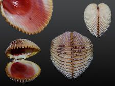 Seashell Trachycardium isocardia MONSTER! NEAR RECORD SIZE! 101.6 mm !!!!!