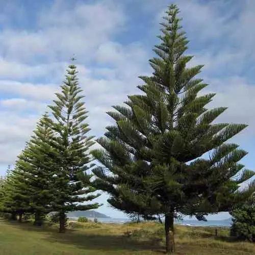 Mudas Pequenas De Pinheiro Norfolk - Pinheiro De Natal - R$ 20,00