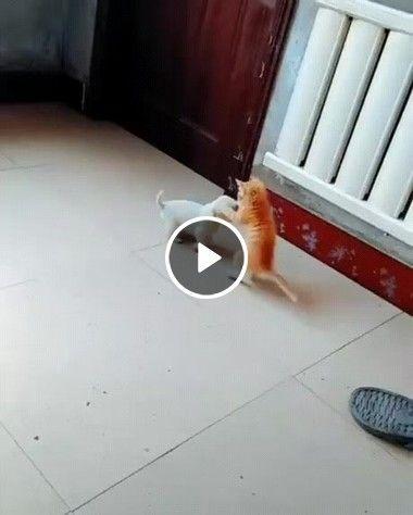 Gatinho vs Cãozinho, uma luta muito fofa. Quem será o ganhador?