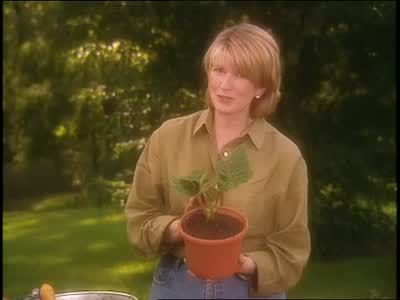 Martha Stewart gives some tips for planting and growing tuberous begonias.