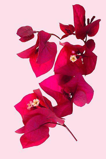 Pink Bougainvillea Flower Photographic Print In 2020 Watercolor Flowers Flower Art Bougainvillea