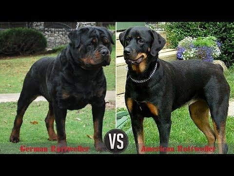 Difference Between German And American Rottweilers Youtube
