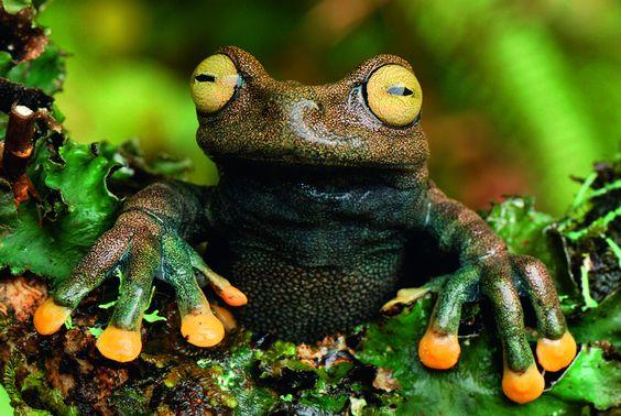 Grenouille (Hyloscirtus lindae), Colombie. Les ventouses situées au bout des doigts des grenouilles arboricoles leur permettent de grimper facilement sur les arbres. - Photo voyage