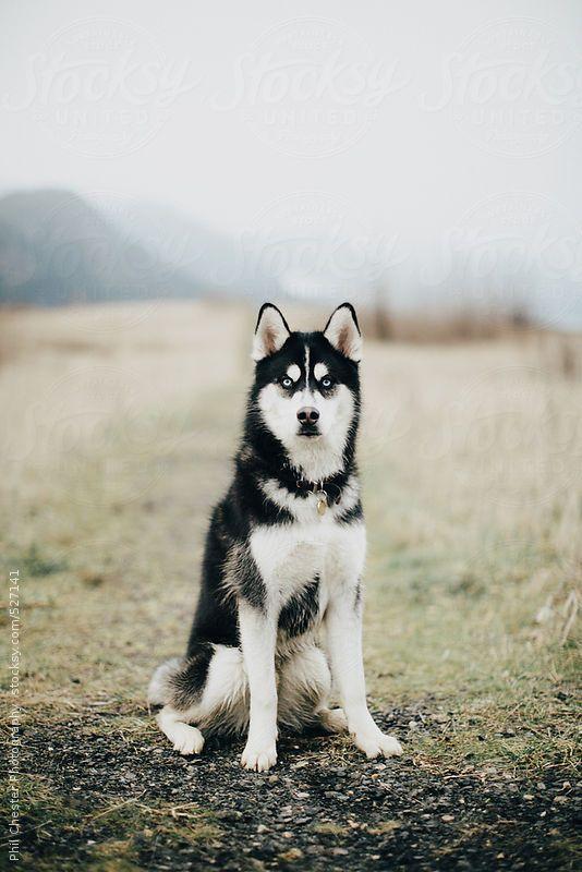 Blue Eyed Husky Dog Sits In Misty Foggy Field White Siberian