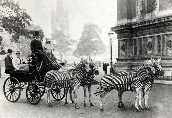 Imgur: Zebra Drawn, Famed Zebra, Vintage Animal, Drawn Carriage, Vintage Photo, Zebra Carriage,  Horse-Cart