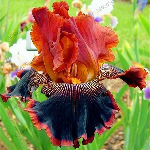 50pcs Bag Mixed Color Iris Flower Seeds Rare Flower Seeds Bearded Iris Seeds Nature Plants Orchid Flower Diy For Garden Iris Flowers Iris Garden Rare Flowers