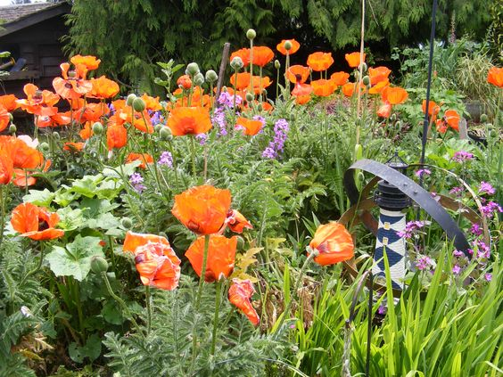 I'm poppy mad. May thru June in our gardens is a stop 'n stare scream of gorgeous colours. #gardening