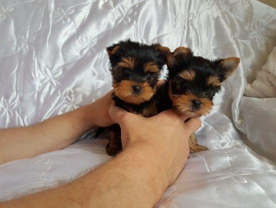 Terw Beautiful Yorkshire Terrier Boy Amp Girls Puppy Adoption Free Puppies Yorkie Puppy