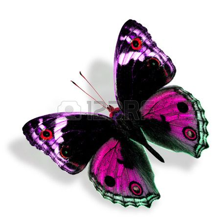 Beautiful Sweet Pink Butterfly (Male of Blue Pansy) in fancy color profile isolated on white background with soft shadow photo