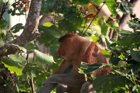 Mono narigudo en la zona de Paku Beach