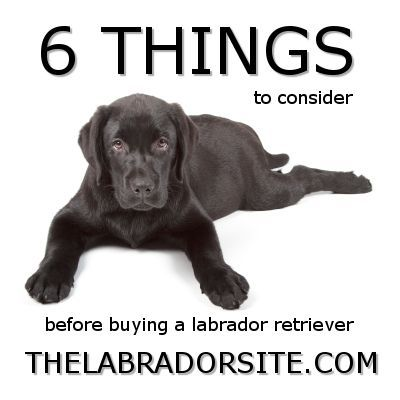 Six things to consider before you buy your Labrador Retriever puppy!