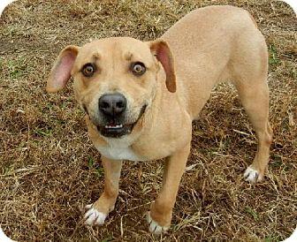 Anniston, AL - Pit Bull Terrier/Hound (Unknown Type) Mix. Meet Aubie, a dog for…