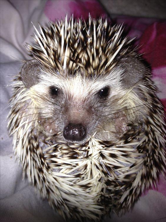 My Pygmy Hedgehog