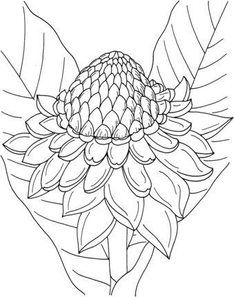 Etlingera Elatior or Torch Ginger coloring page
