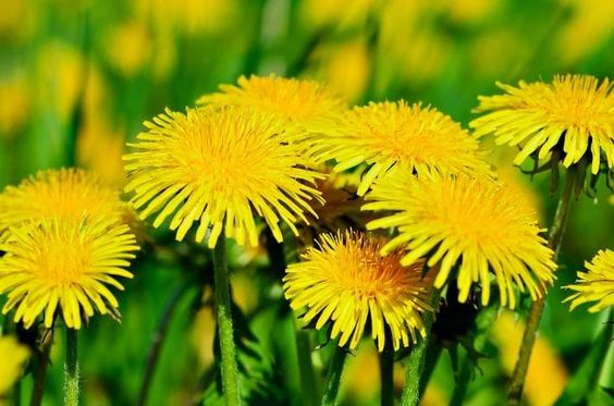 What To Forage In Spring 20 Edible And Medicinal Plants And Fungi Medicinal Plants Dandelion Recipes Edible Wild Plants