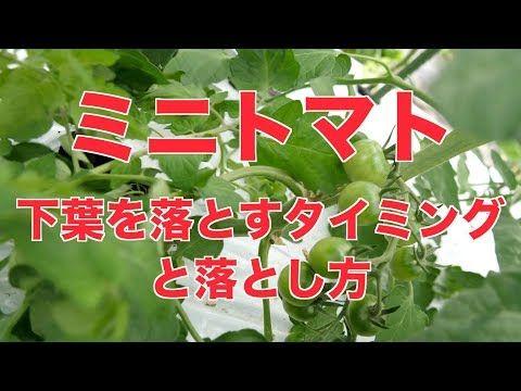 6 14 ミニトマトの下葉を落とすタイミング 403 Youtube 落とす