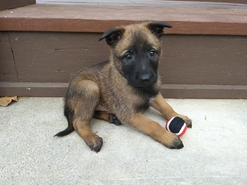 Litter Of 9 Belgian Malinois Puppies For Sale In Corning Ca Adn