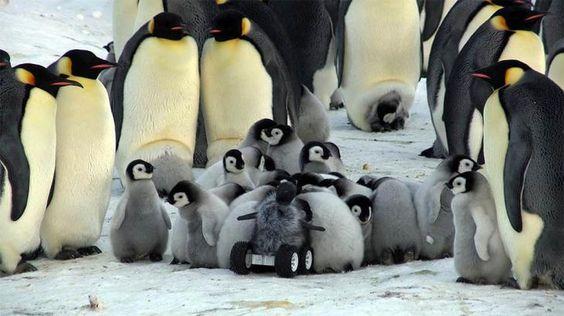 robot-pinguino-bebe-antartida  Un grupo de científicos europeos que trabajan juntos con cineastas de vida silvestre de Reino Unido han desarrollado un robot a control remoto disfrazado de pingüino con el fin de estudiar a las tímidas colonias de pingüinos emperador en la Antártida.