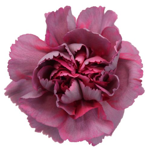 Enchanted Eve Carnation Flowers Fiftyflowers Com Carnation Flower Carnations Flowers