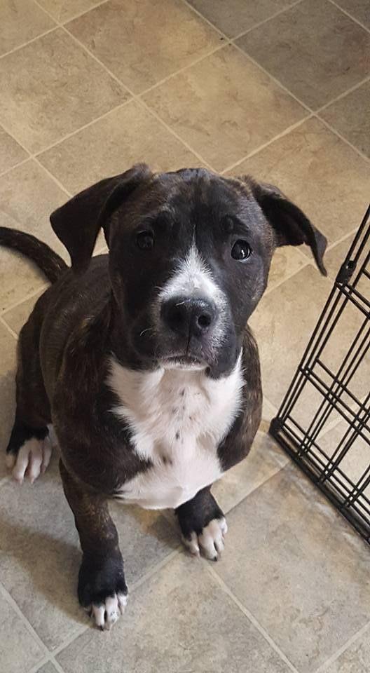 Adopt Phoebe On Petfinder Pitbulls Pitbull Terrier Dogs
