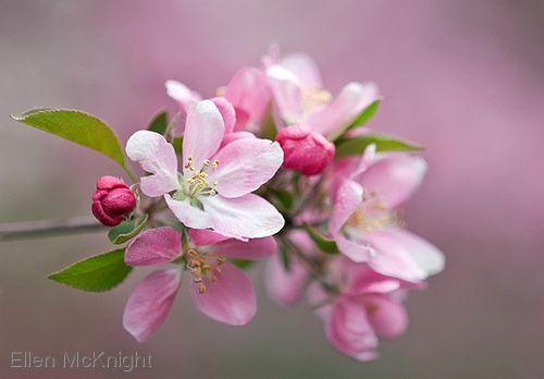 crab apple blossoms - Ellen McKnight