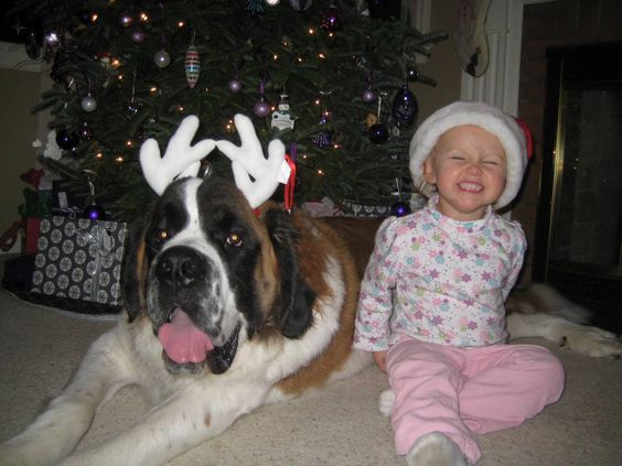 The calm, easygoing #saintbernard is gentle and patient around children, although it is not particularly playful.: