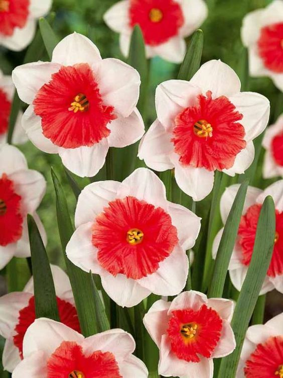 """Narcissus Riot is a daffodil (herbaceous perennial grown from bulbs) that produce beautiful white and salmon flower mid to late spring. The plant grows 12-24"""" tall and does best in full sun. Deer and rodent resistant. Zones 3-8"""