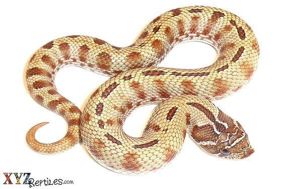 Hog Nose Snakes as Pets and Their Various Morphs