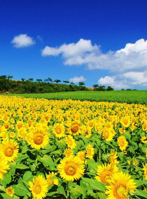 青空とひまわりが綺麗で美しい花畑