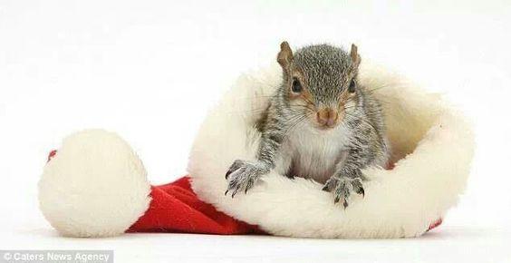 Squirrel in a Santa hat