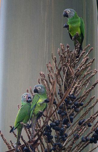 Aratinga weddellii / Perico canoso / Dusky-headed Parakeet | by felixú